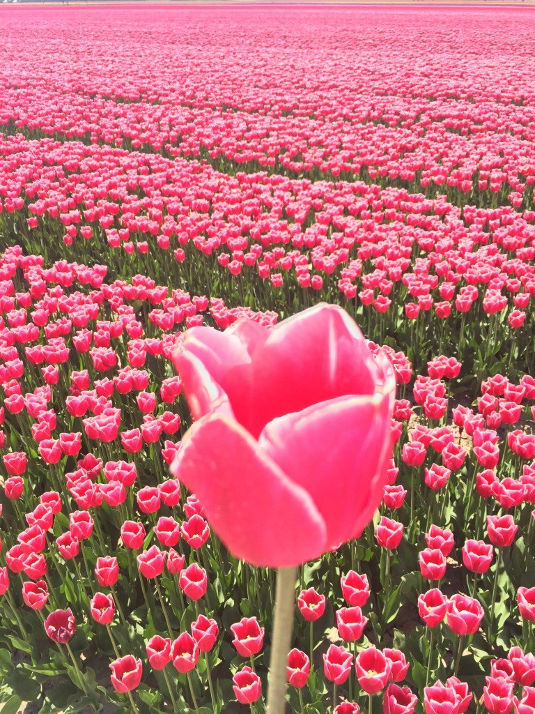 Dutch Tulip Season - Pink Tulips - The Good Rogue